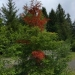 Dying doug fir tree