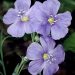 Western blue flax (Linum lewisii) is a delicate yet hardy perennial that thrives in sunny native plant gardens and meadowscapes. © Gerald D. Carr, courtesy of OregonFlora.